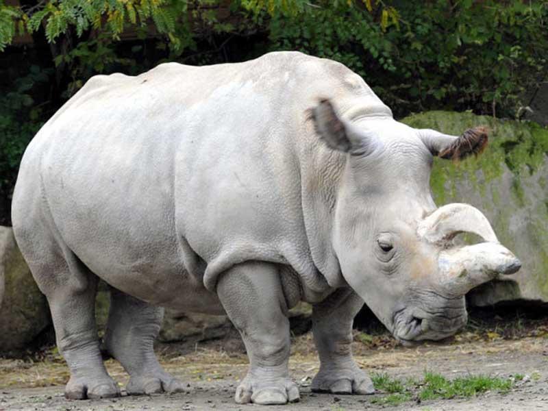 rinoceronte-blanco