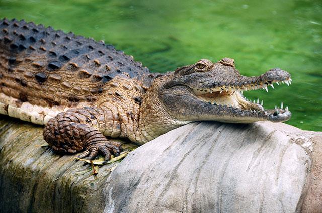 Freshwater_Crocodile_at_Lone_Pine_Koala_Sanctuary