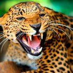Jaguar,-en-peligro-de-extinción